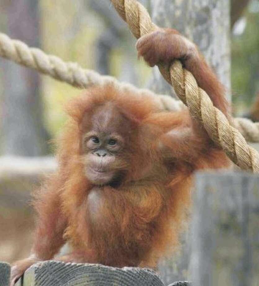 Caption: Houston Zoo Orangutan: Indah Credit: Tammy Buhrmester. (Tammy Buhrmester / Houston Zoo)