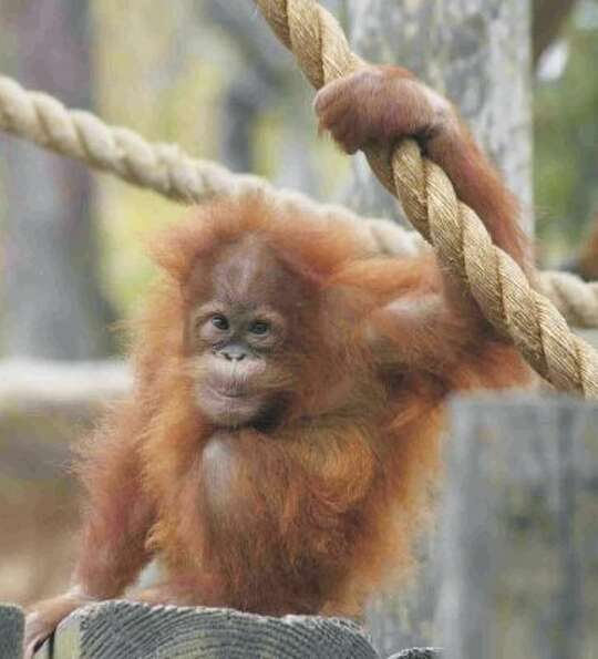 Caption: Houston Zoo Orangutan: Indah Credit: Tammy Buhrmester. (Tammy Buhrmester / Houston Zoo)