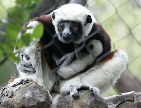 A mother lemur, Zenobia, nurses her baby Friday, Jan. 23, 2009 at the Houston Zoo. The rare Coquerel sifaka was born Jan. 6, 2009, a first for the Houston Zoo. (AP Photo/Pat Sullivan) (Pat Sullivan / AP)