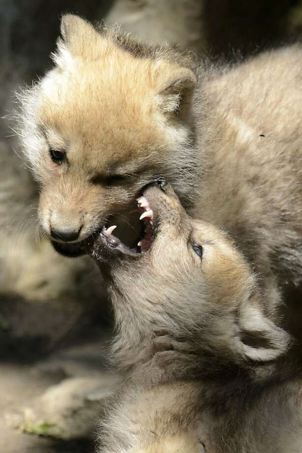 Fresh set of canines: Two two-month old baby arctic wolves play in their enclosure in the zoo in Servion, Switzerland. Photo: Laurent Gillieron, Associated Press