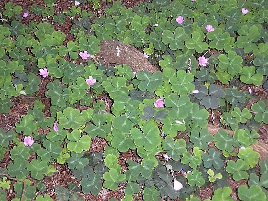 Oxalis oregana, known commonly as Redwood sorrel. Photo: Liz Fial