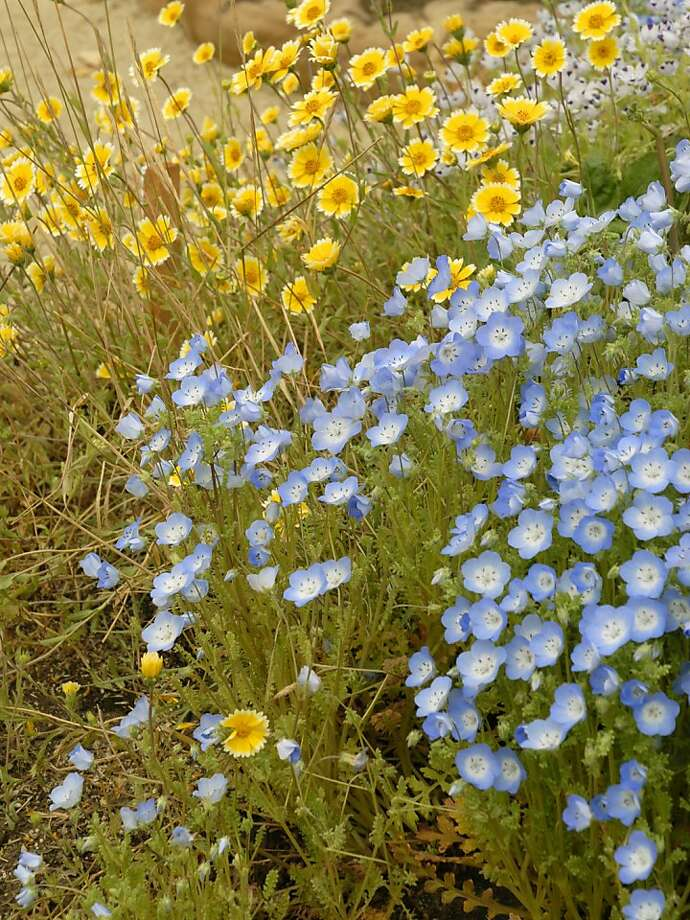 Baby blue eyes and tidy tips are two California native annual flowers that attract beneficial insects. Photo: Pam Peirce