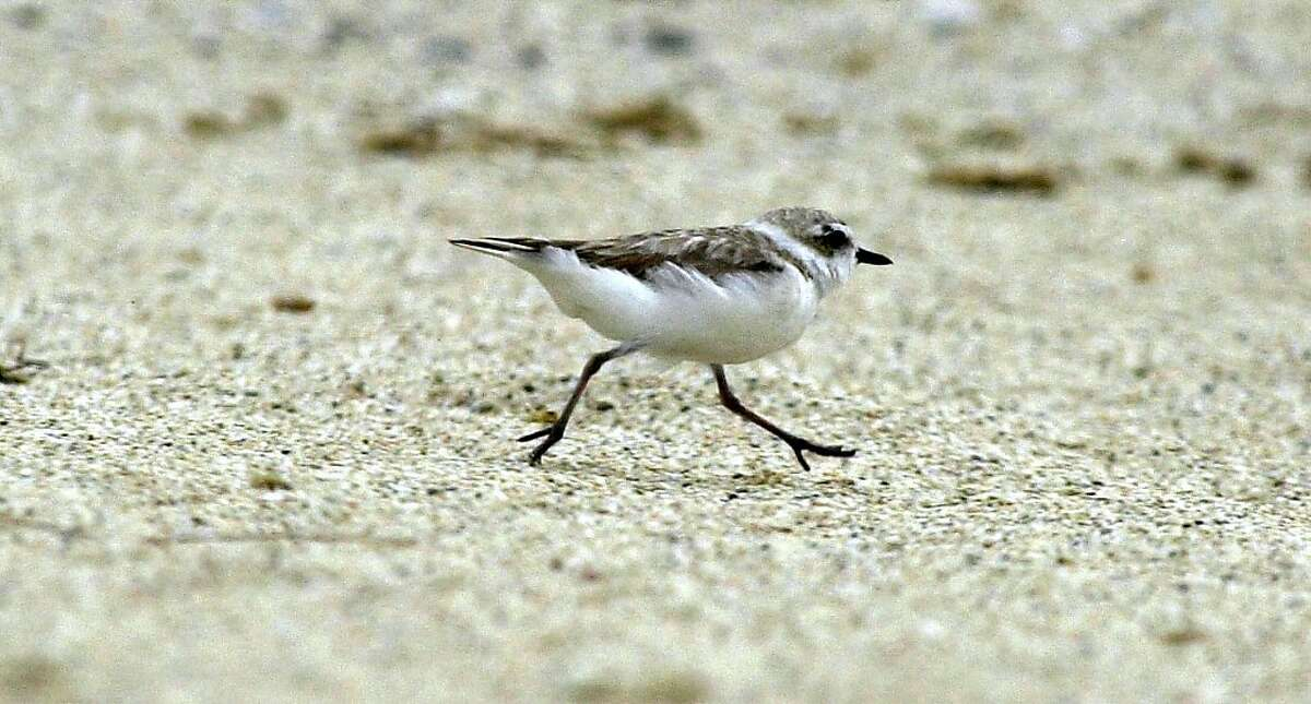 PLOVERSA-C-11JUL02-MT-KR A Female Snowy Plover runs up Francis Beach on July 11, 2002 in Half Moon Bay, California.