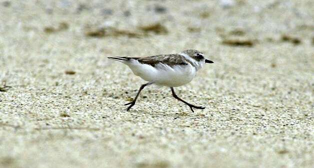 PLOVERSA-C-11JUL02-MT-KR A Female Snowy Plover runs up Francis Beach on July 11, 2002 in Half Moon Bay, California. Photo: Kurt Rogers, SFC