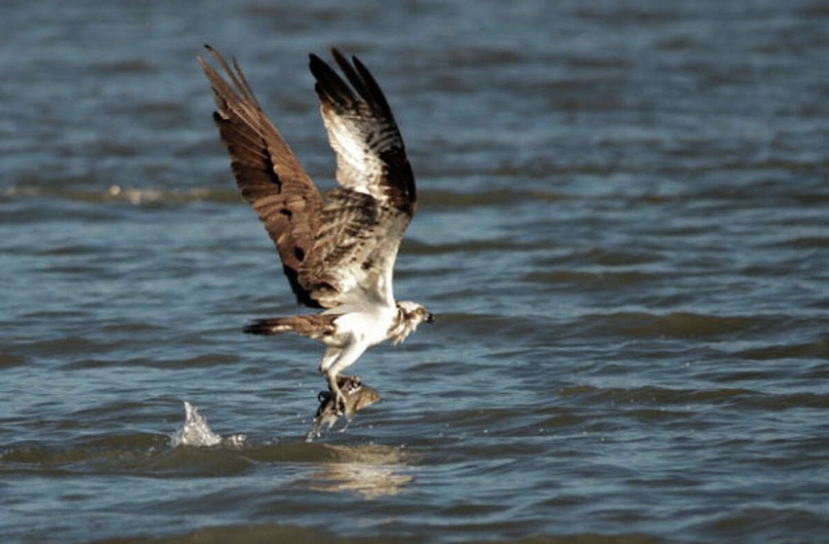 In this file photo, an osprey, in San Pablo Bay near the Carquinez Bridge and Mare Island.