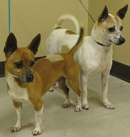 Scrappy, left, and Scooby are looking for a loving home. Photo: Olmos Park Animal Control