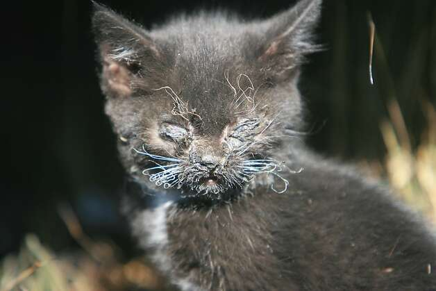 A small kitten is injured after a blaze fueled by strong winds swept through a neighborhood in Mountain Home, Idaho Tuesday, June 19, 2012. The fire, which started Monday evening, has burned 150 acres, destroyed six residences and several outbuildings. (AP Photo/The Idaho Statesman, Chris Butler)  MANDATORY CREDIT Photo: Chris Butler, Associated Press