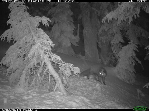 This image of a montane red fox were taken in the Mt. Hood Wilderness Area by Cascadia Wild and the Cascade Carnivore Project using remote cameras during spring 2012. They are the first confirmed detections of montane red fox in northern Oregon in decades, and are likely a newly discovered population of Sierra Nevada red fox Ñ a critically imperiled subspecies native to the Sierra Nevada and Cascade mountains south of the Columbia River. Photo: Cascadia Wild.