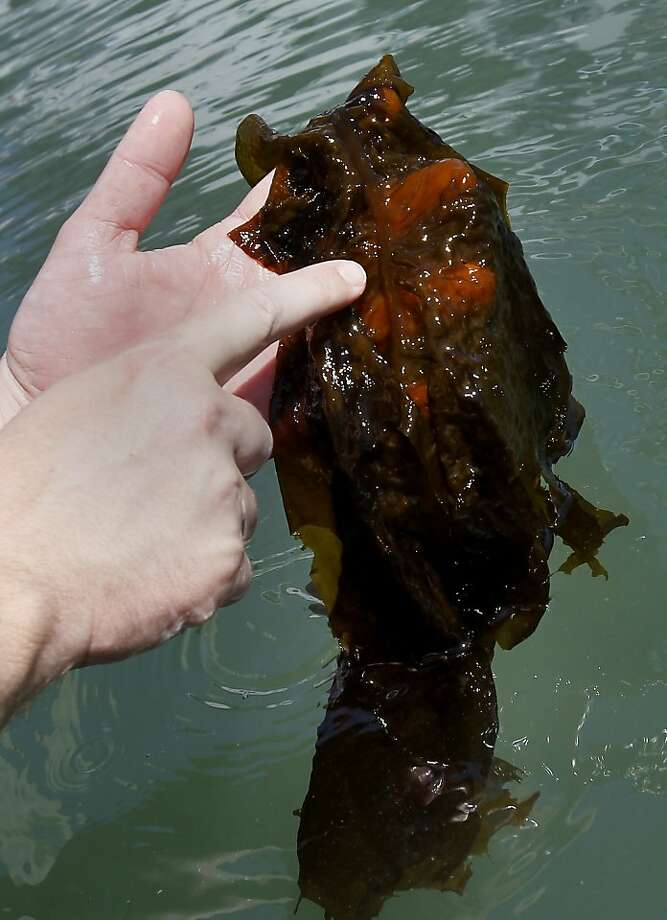 The weed has a history of wiping out native kelp. Photo: Brant Ward, The Chronicle