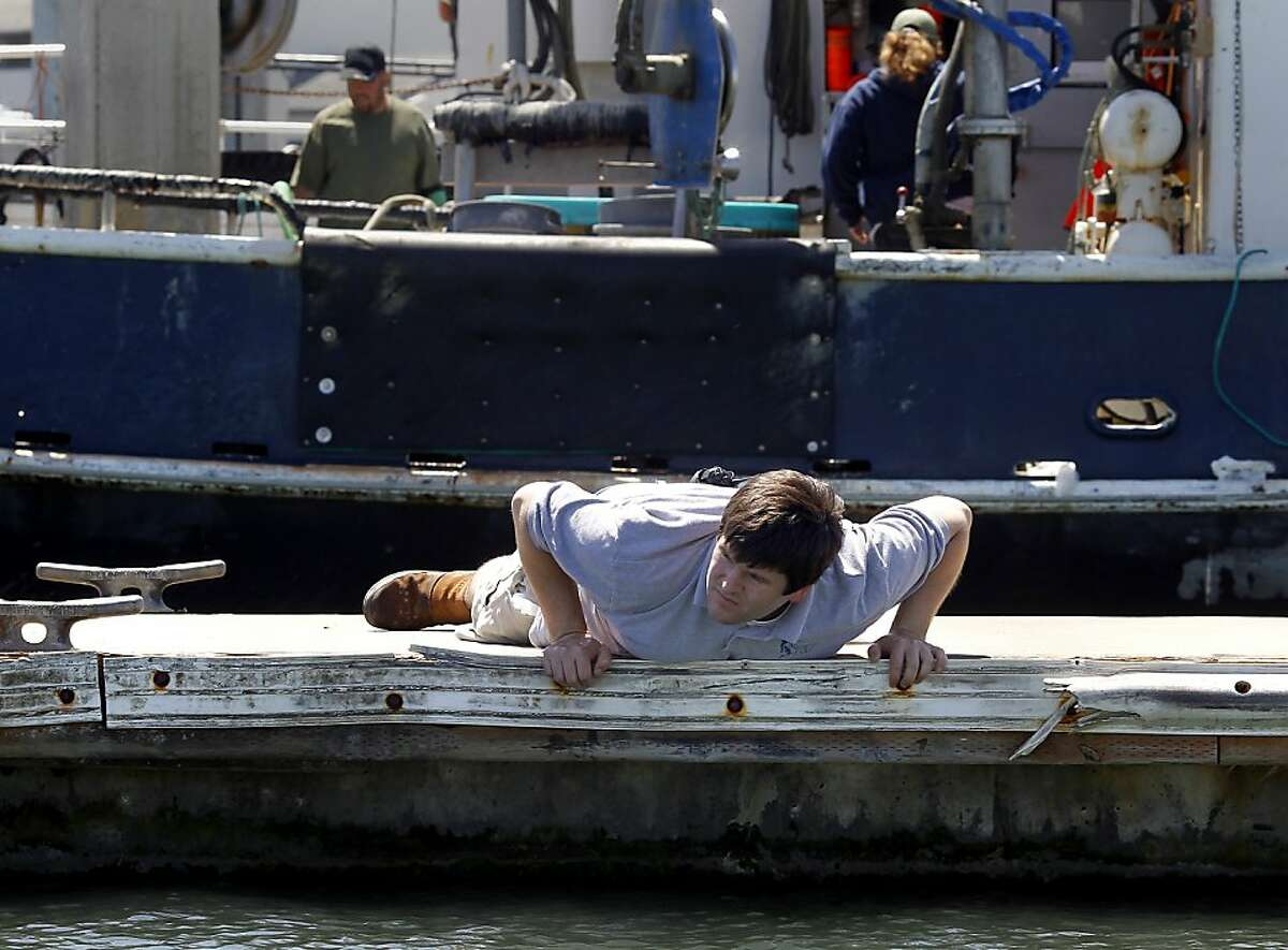 Biologist Kevin McEligot of Aquarium By The Bay lays down on a pier to get a close look at the nearby kelp. A highly invasive brown kelp called Undaria pinnatifida is invading the San Francisco bay waters prompting regular searches to eliminate it, particularly around the Hyde Street pier in San Francisco, Calif.