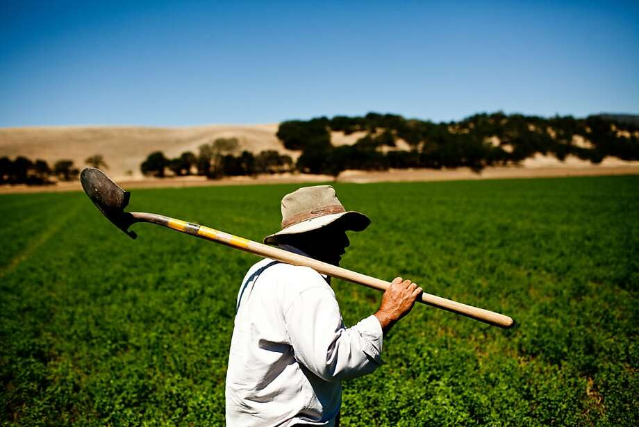 Farmworker Dorteo Jacobo toils in an alfalfa field on Yocha Dehe farmland in Brooks, Yolo County. Photo: Max Whittaker/Prime, Special To The Chronicle