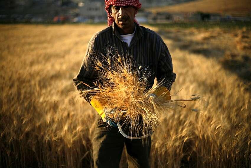 Jordanian farmer, Falah al Abbadi, 50, harvests wheat, on the outskirts of Amman, Jordan, Tuesday, June 19, 2012. (AP Photo/Mohammad Hannon)