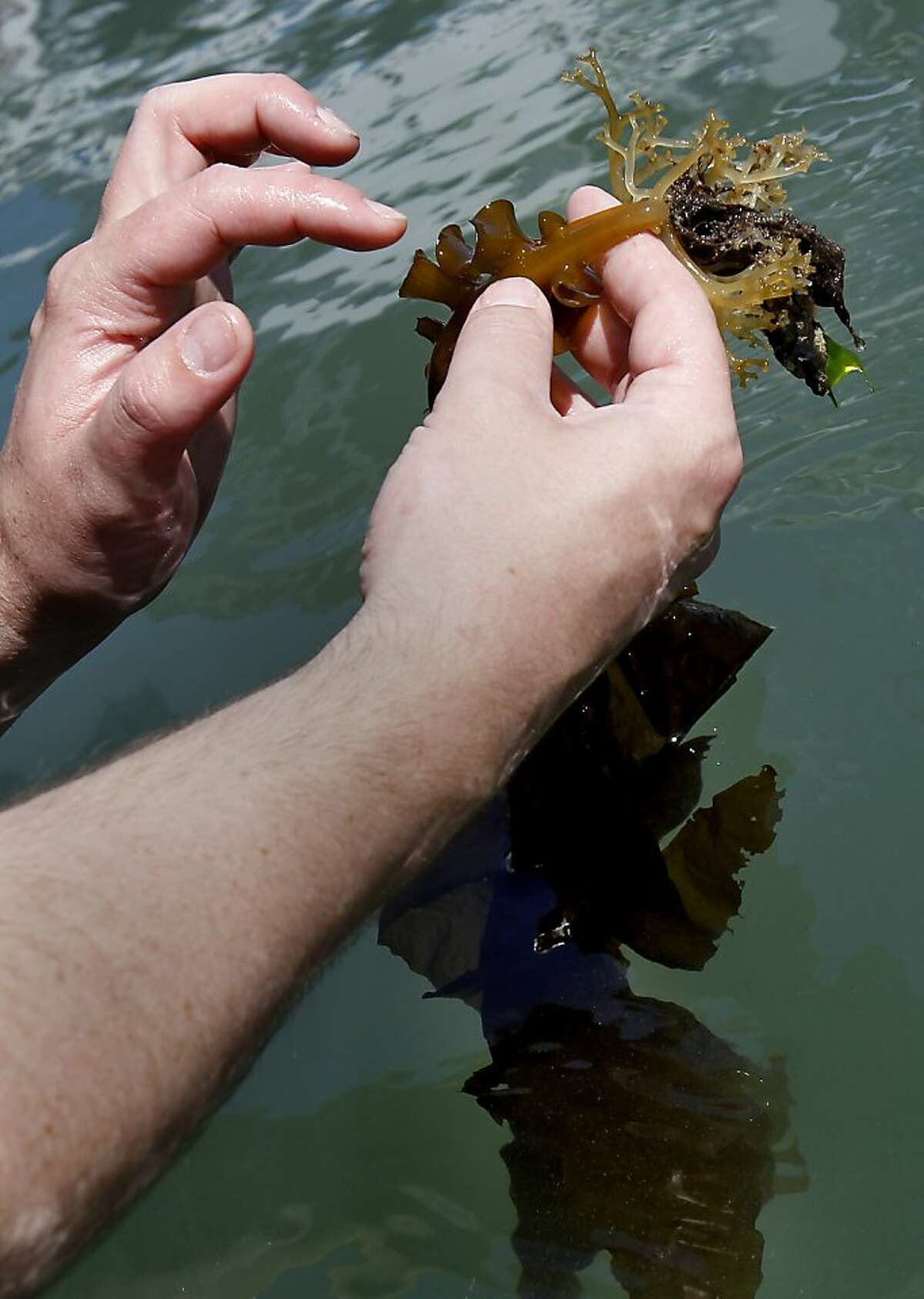 Biologist Kevin McEligot of Aquarium of the Bay handles some of the Undaria pinnatifida found in the docks. A highly invasive brown kelp called Undaria pinnatifida is invading the San Francisco bay waters prompting regular searches to eliminate it, particularly around the Hyde Street pier in San Francisco, Calif.