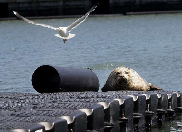A harbor seal finds refuge on a pier near where the search for Japanese kelp is going on. A highly invasive brown kelp called Undaria pinnatifida is invading the San Francisco bay waters prompting regular searches to eliminate it, particularly around the Hyde Street pier in San Francisco, Calif. Photo: Brant Ward, The Chronicle