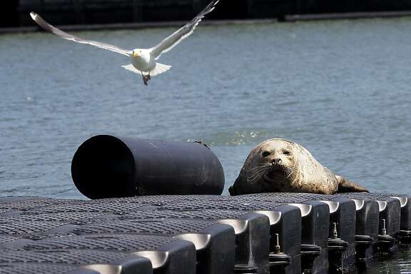 A harbor seal finds refuge on a pier near where the search for Japanese kelp is going on. A highly invasive brown kelp called Undaria pinnatifida is invading the San Francisco bay waters prompting regular searches to eliminate it, particularly around the Hyde Street pier in San Francisco, Calif.
