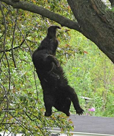 A bear which was shot with a tranquilizer gun falls out of a tree near North College St. in the Stockade Thursday, May 10, 2012 in Schenectady, N.Y. (Lori Van Buren / Times Union) Photo: Lori Van Buren