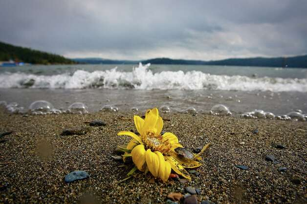 A sunflower sits at the edge of City Beach in Coeur d'Alene, Idaho on  Tuesday, April 29, 2008. (AP Photo/Coeur d'Alene Press, Jerome A. Pollos) ** MANDATORY CREDIT ** Photo: JEROME A. POLLOS