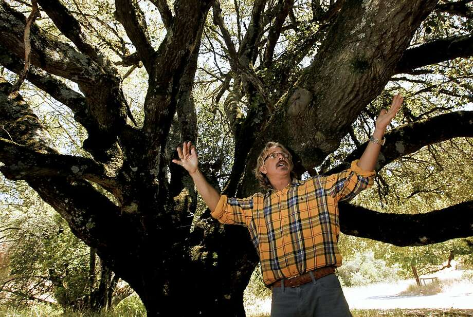 Matteo Garbelotto, with a 300-year-old Coastal Oak being killed by sudden oak death disease, at the Fairfield Osborn Preserve, a nature reserve run by Sonoma Sate University, East of Rohnert Park, Ca., in Sonoma County,  on Tuesday June 19, 2012.  Garbelotto is the creator of the SODMAP, a comprehensive map ever put together of sudden oak infections in the Bay Area. Every documented test by researchers at UC Berkeley and UC Davis, Calfire and the California Department of Food and Agriculture is plotted on SODMAP. Photo: Michael Macor, The Chronicle