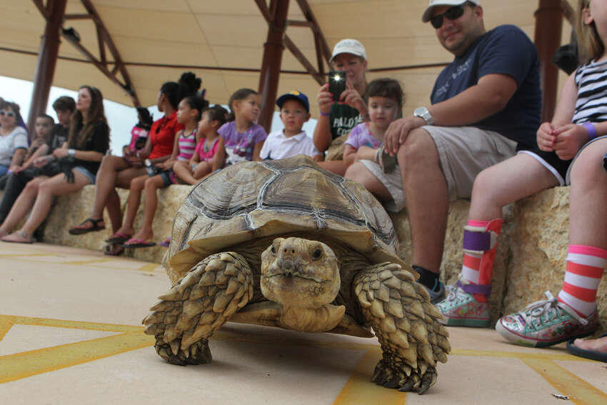 A tortoise checks out the surroundings at Morgan's Wonderland Wednesday, June 20, 2012, during a performance of the Zoofari Animal Outreach show. Remarkable animals including eagles, monkeys and owls populated the presentation to entertain and educate the park's guests. Held at the amphitheater, the program was designed as a first-day-of-summer treat on top of the other attractions.