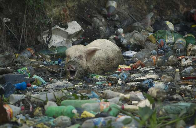 In this photo taken on Friday, June 15, 2012, a pig eats from a trash-ridden creek that runs towards the conference center where the United Nations Conference on Sustainable Development, or Rio+20, takes place in Rio de Janeiro, Brazil. The throngs streaming into Rio for the Earth summit may be dreaming of white-sand beaches and clear, blue waters, but what they are first likely to notice as they leave the airport is not the salty tang of ocean in the breeze, but the stench of raw sewage. (AP Photo/Victor R. Caivano) Photo: Victor R. Caivano, Associated Press