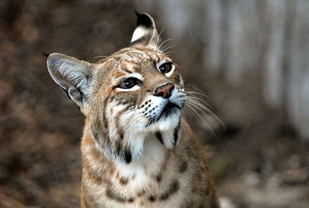 Inti the bobcat, now on exhibit at the San Francisco Zoo. Photo: -, S.F. Zoo