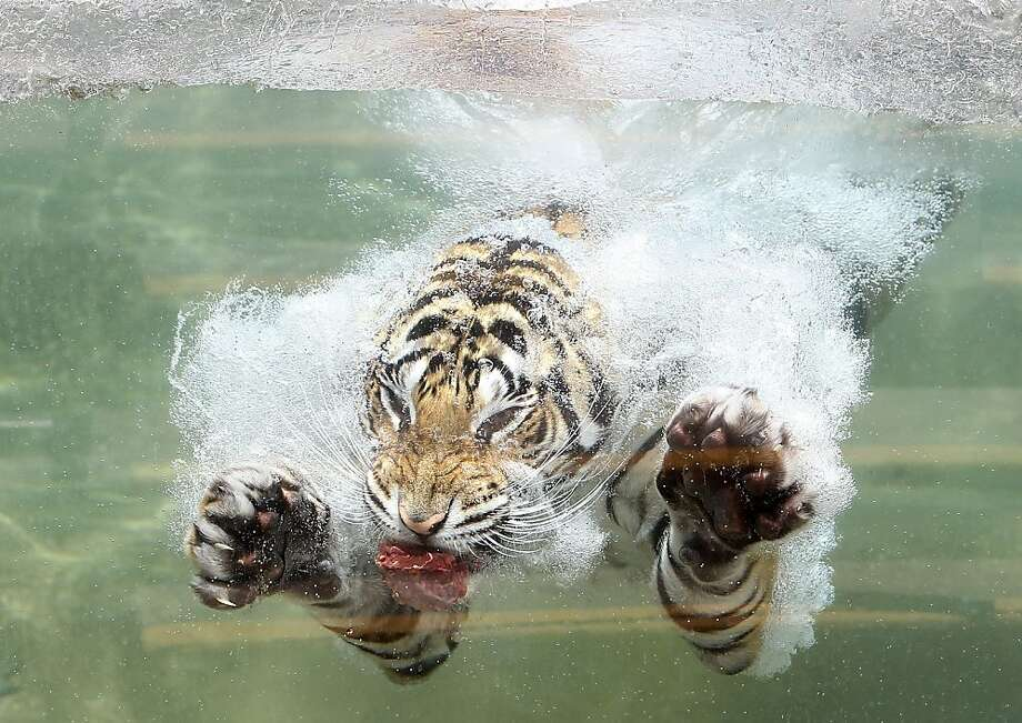Swim meat: Akasha dives for his lunch at Six Flags Discovery Kingdom. Photo: Justin Sullivan, Getty Images