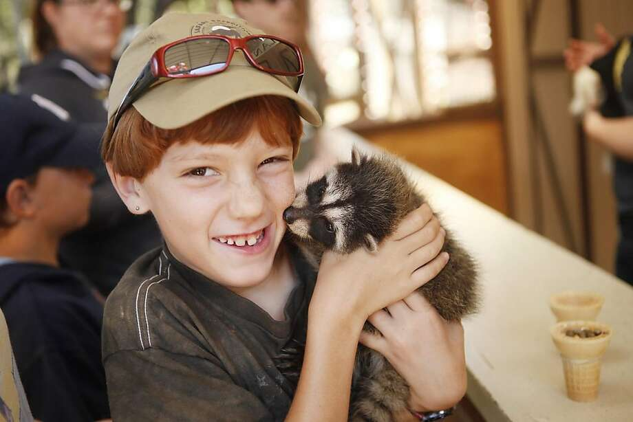Kaydon Sjodin, 8, from Rosamond, Calif., gets a nibble from a baby raccoon at the West Coast Game Park Safari in Bandon, Ore. Thursday, June 21, 2012. Visitors come to the game park to see exotic cats and animals they might see in local wilderness. The game park has an extensive breeding program, producing cubs year-round. (AP Photo/The World, Benjamin Brayfield) Photo: Benjamin Brayfield, Associated Press