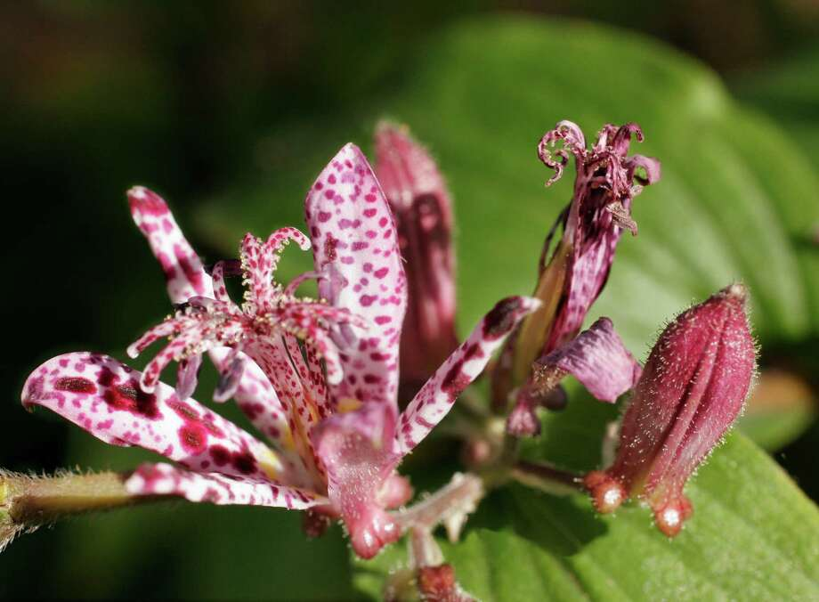 Toad lily is a late-summer/fall flowering perennial for morning sun, afternoon shade, filtered sun or bright shade. Photo: Kathy Huber / Houston Chronicle