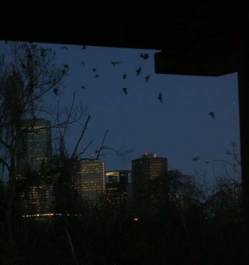 Watch bats at the Waugh Street bridge between Allen Parkway and Memorial Drive. (Julio Cortez / Houston Chronicle)