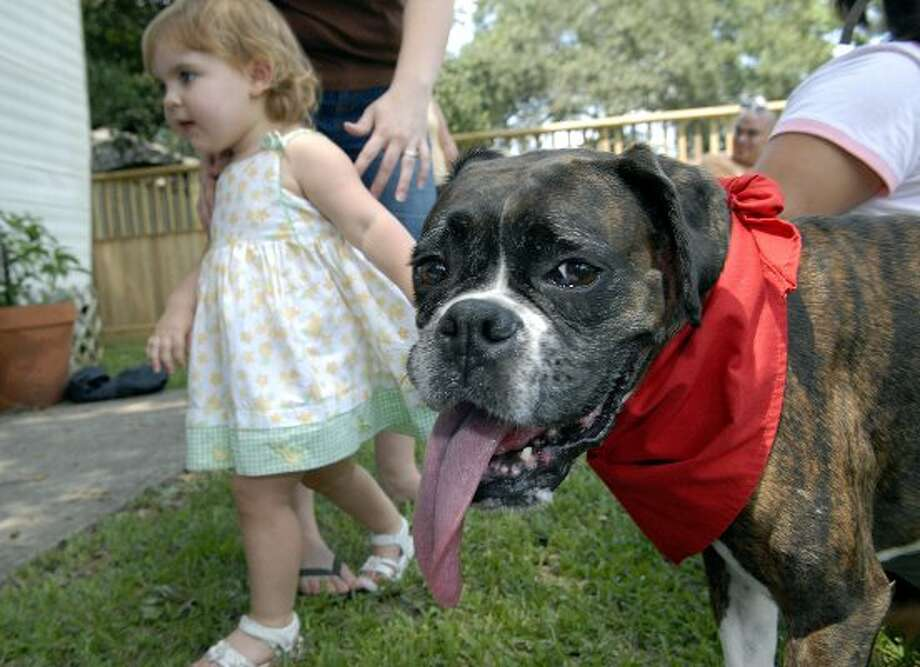 Adopt a boxer from Lone Star Boxer Rescue. (Kim Christensen / For the Chronicle)