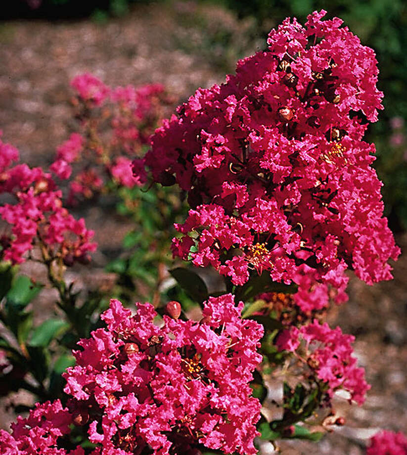 Boost blooming for crape myrtles by removing bloom spikes when half have lost color.