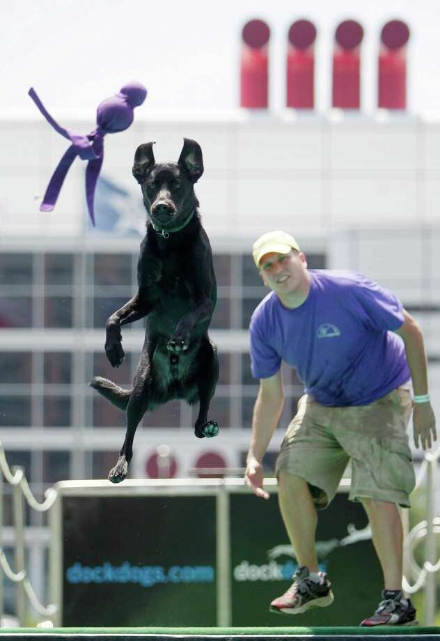 """""""Pei"""", a Labrador Retriever trained by Jacob Schoick, competes in the Dock Dogs Competition at Discovery Green on Friday, in Houston. Dogs are allowed to sign-up on site June 22-24th for various competitions. Photo: Mayra Beltran, Houston Chronicle / © 2012 Houston Chronicle"""