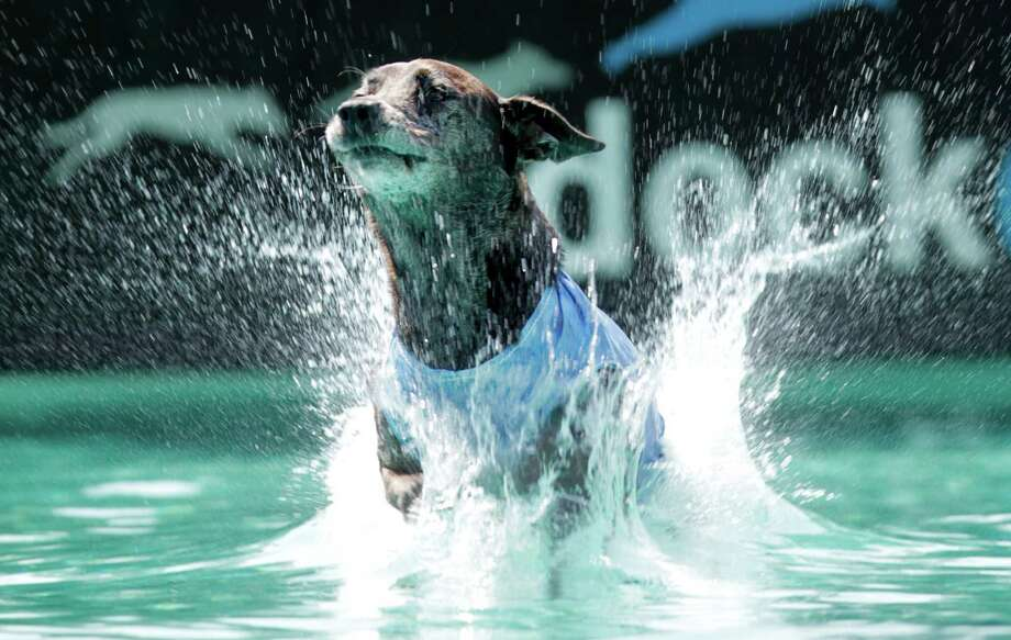 """Quila"", a Catahoula Leopard dog trained by Desiree Motz, competes in the Dock Dogs Competition at Discovery Green on Friday, in Houston. Dogs are allowed to sign-up on site June 22-24th for various competitions. Photo: Mayra Beltran, Houston Chronicle / © 2012 Houston Chronicle"