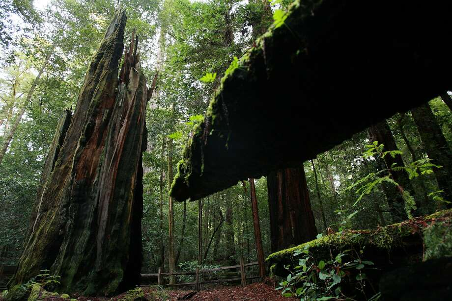 Shell Tree, which was 2000 years old when it died in 1989 due to a camper's fire, is one of the attractions at Portola Redwoods State Park in the Santa Cruz Mountains.
