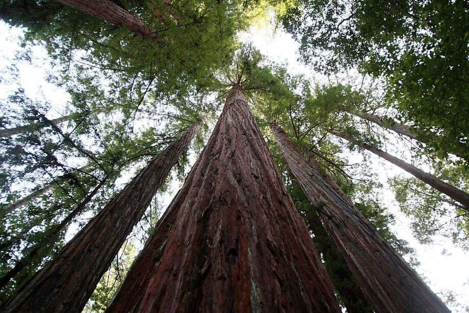 Redwoods are one of the main attractions at Portola Redwoods State Park in the Santa Cruz Mountains. The park is on the list of parks that the governor is looking to close. Photo: Laura Morton, Special To The Chronicle