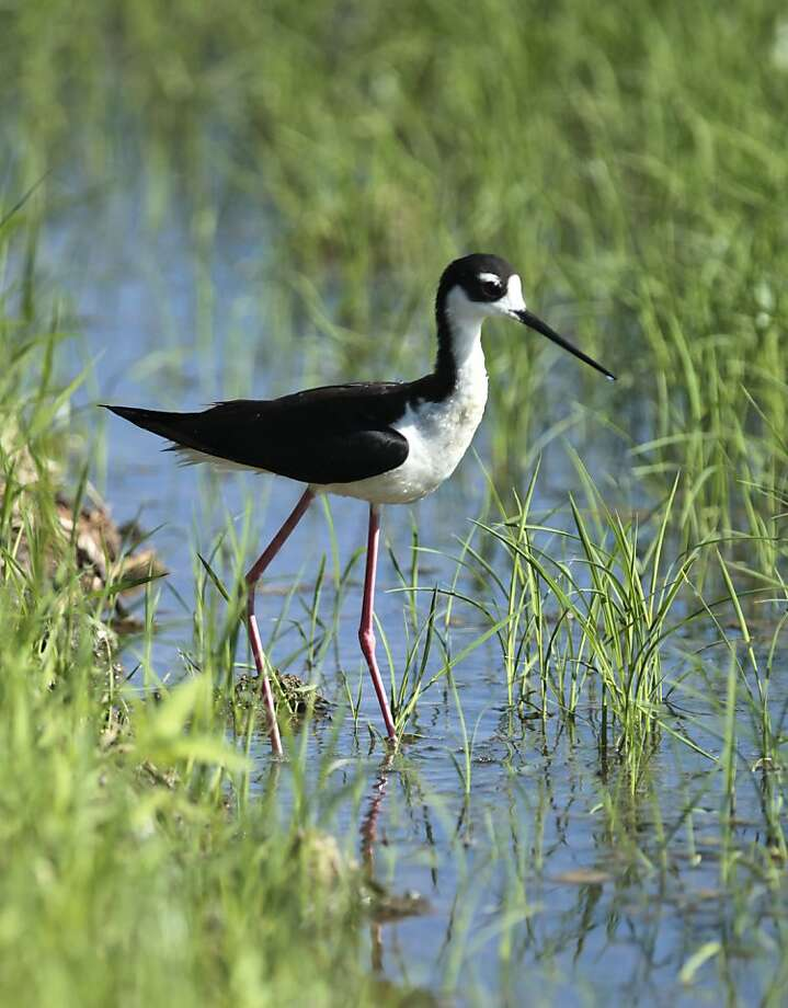 In this photo taken June, 19, 2012, a Black-necked Stilt is seen  in a rice field near Williams, Calif.  More than 165 California rice farmers have signed up for an incentive program, funded by a $2 million US. Natural Resources Conservation Service, to make habitat improvements in their rice paddies  to provide migratory and water birds a place to stop, feed and breed.(AP Photo/Rich Pedroncelli) Photo: Rich Pedroncelli, Associated Press