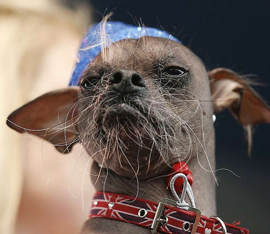 TOPSHOTS A Chinese Crested dog from the United Kingdom named Mugly is brought to the stage for judging during the 2012 World's Ugliest Dog contest at the Sonoma-Marin Fair in Petaluma on June 22, 2012 in California. AFP Photo / Kimihiro HoshinoKIMIHIRO HOSHINO/AFP/GettyImages Photo: Kimihiro Hoshino, AFP/Getty Images