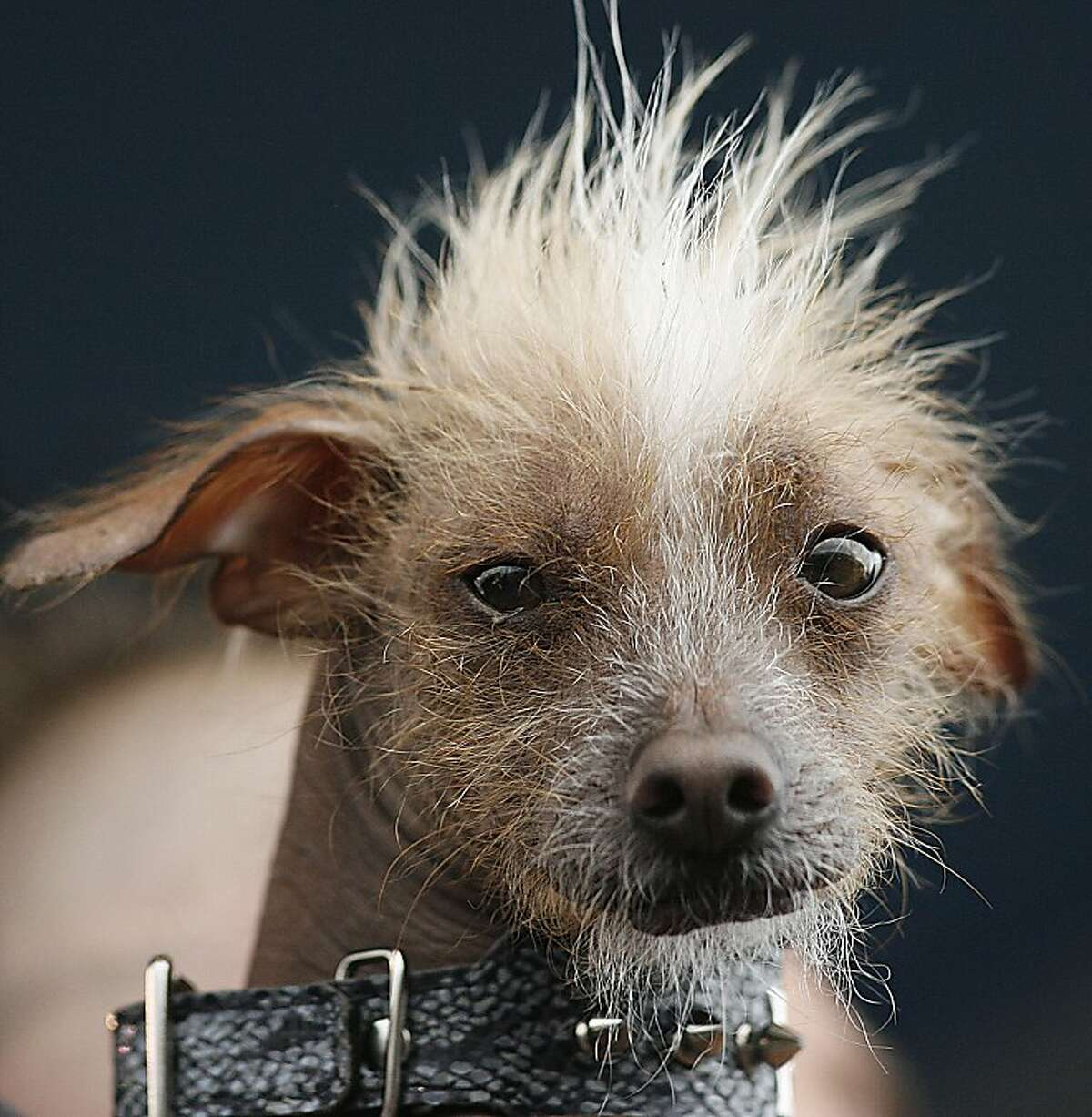 A Chinese Crested dog named Icky is brought to the stage for judging during the 2012 World's Ugliest Dog contest at the Sonoma-Marin Fair in Petaluma on June 22, 2012 in California. AFP Photo / Kimihiro HoshinoKIMIHIRO HOSHINO/AFP/GettyImages