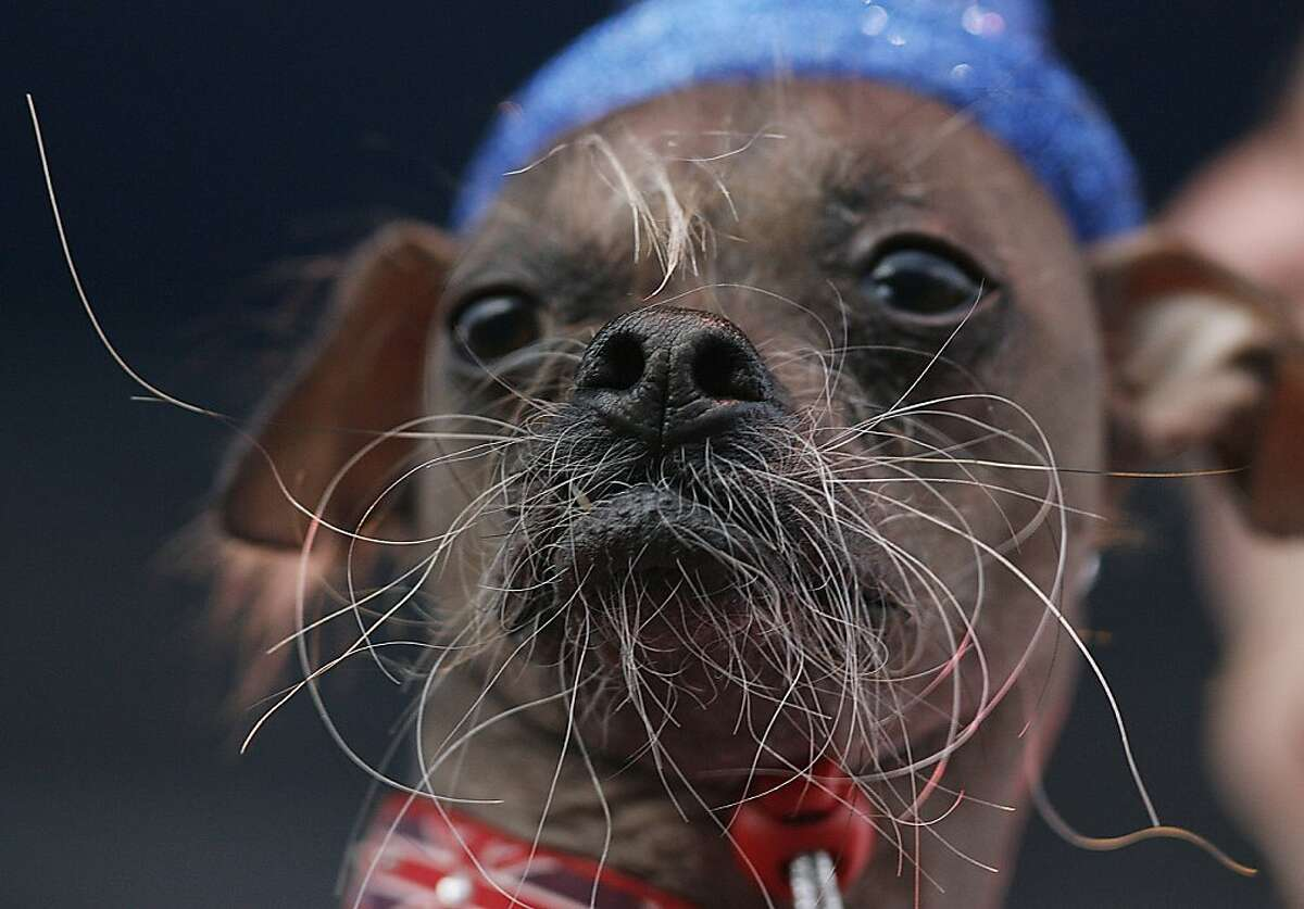 A Chinese Crested dog from the United Kingdom named Mugly is brought to the stage for judging during the 2012 World's Ugliest Dog contest at the Sonoma-Marin Fair in Petaluma on June 22, 2012 in California. AFP Photo / Kimihiro HoshinoKIMIHIRO HOSHINO/AFP/GettyImages