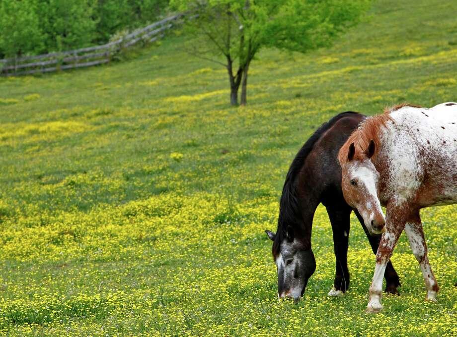 Horses graze on the 50-acre farm of the White Bird Appaloosa Horse Rescue in Burkeville, Va. Photo: Mark Gormus / Richmond Times-Dispatch