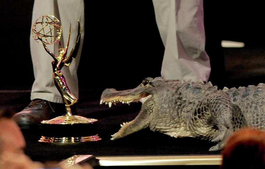 An alligator from zookeeper Jack Hanna's entourage moves toward a Daytime Emmy statuette. Photo: CHRIS PIZZELLO/INVISION/AP