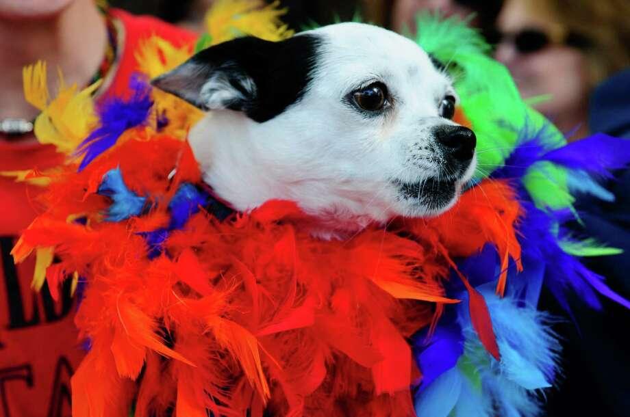 Olivia, a Pomeranian Chihuahua, barks at passing parade participants. Photo: LINDSEY WASSON / SEATTLEPI.COM