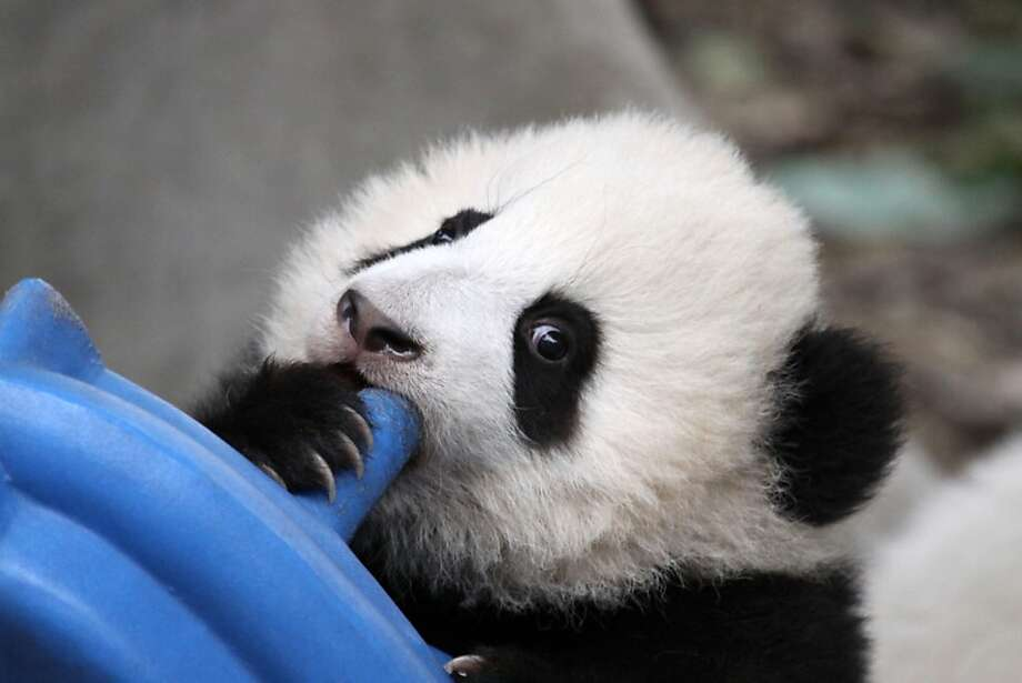 It's taking me FOREVER to blow up this mattress: This cub just doesn't have the windpower needed for the job at the Giant Panda Research Base in Chengdu, China. Photo: Str, AFP/Getty Images