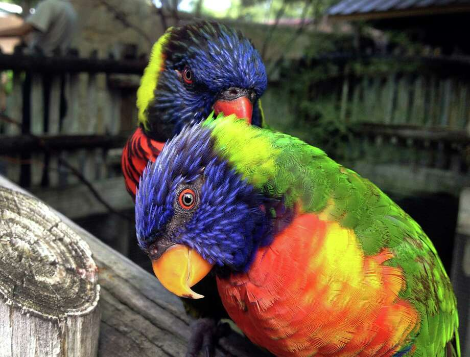 These Lories, in Lory Landing, were grooming each other for the photo. Wednesday, June 20, 2012. Photo: BOB OWEN, San Antonio Express-News / © 2012 San Antonio Express-News