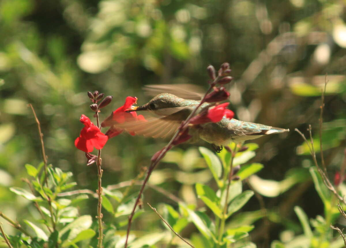 Salvia greggii and other native salvias supply nectar to hummingbirds.