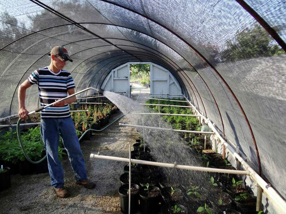 Marshall Zimmerman waters plants by hand at the Valtex Nursey in Uvalde, Texas. Stage 4 water restrictions in effect. Photo: Billy Calzada, San Antonio Express-News / © 2012 San Antonio Express-News