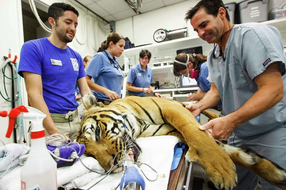 Benjamin Macuil, left, and Dr. Brian Beale, right, inspect Pandu, a 280lb. Malayan Tiger, before surgeons with Gulf Coast Veterinary Specialists perform an arthroscopic surgery and stem cell procedure on the cat's elbow, at the Denton A. Cooley Animal Hospital at the Houston Zoo. Photo: Michael Paulsen, Houston Chronicle / © 2012 Houston Chronicle