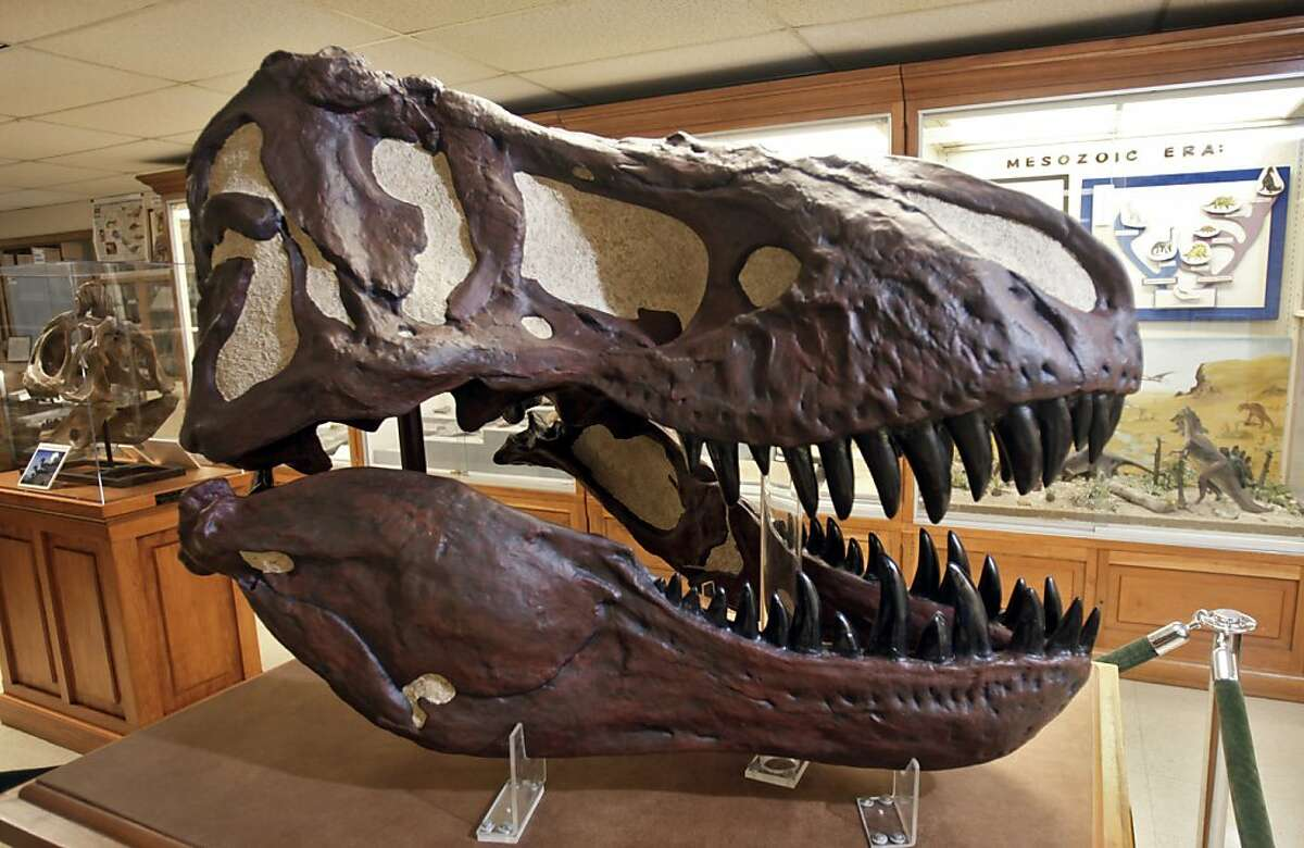 This June 15, 2012, photo, shows a repaired Tyrannosaurus Rex skull at the Orton Geological Museum in Columbus, Ohio. Months after an Ohio State University student trashed the Orton Geological Museum, an artist, a curator and elementary schoolchildren are helping to piece history back together. About 175 second- and third-grade gifted students from Hilliard elementary schools did chores, held bake sales and even sold