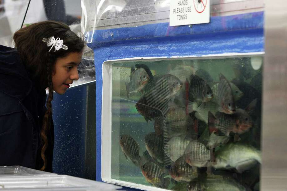 Eleven-year-old Katherine Quezada watches live fish in a tank in the seafood department at the new Fiesta grocery store at Westheimer and Dairy Ashford Monday, June 25, 2012, in Houston. Photo: James Nielsen, Chronicle / © Houston Chronicle 2012