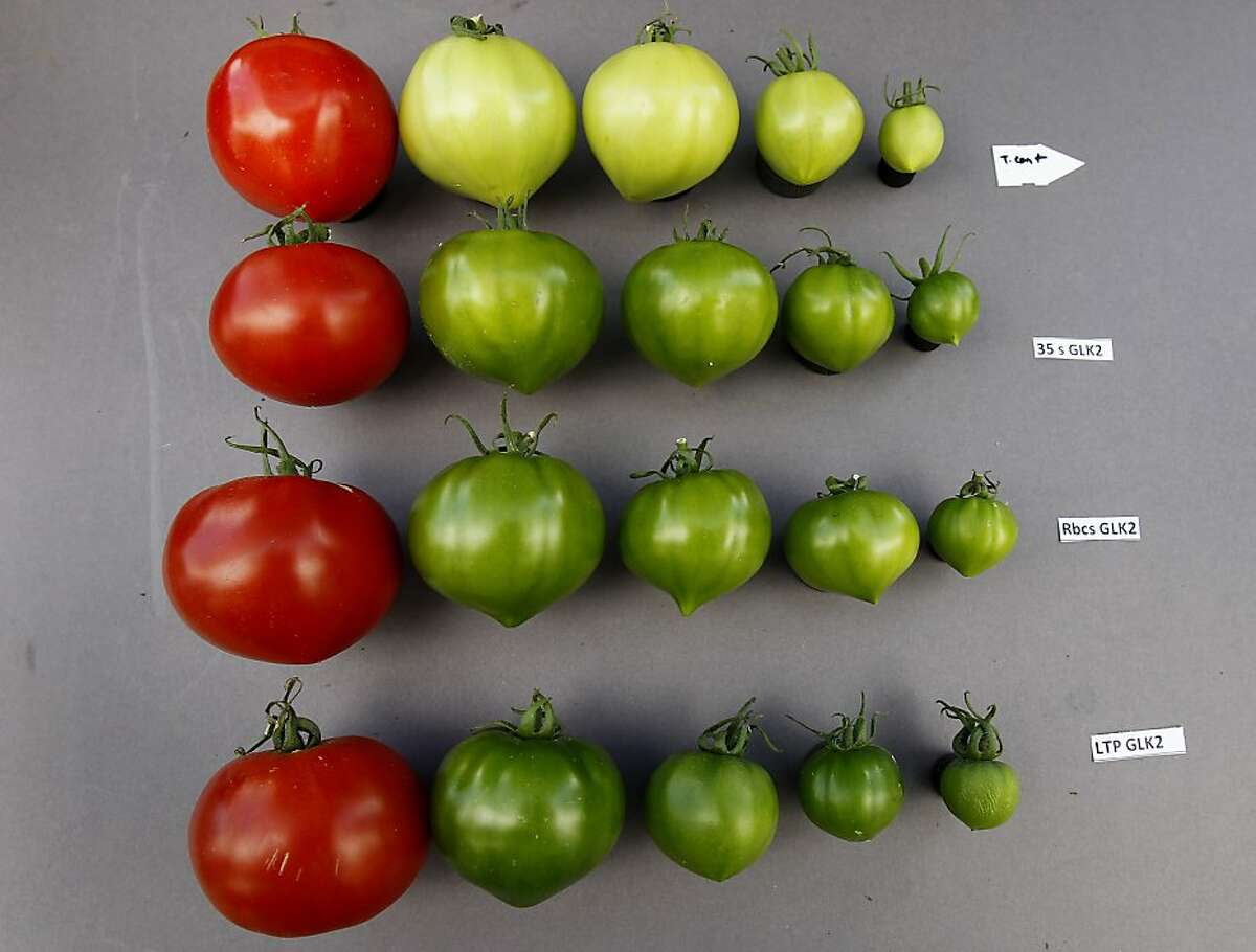 Tomatoes are lined up to show the color, thusly the sugar and flavor differences. The top row is the control tomato, the modified fruit gets darker and more flavorful (bottom three rows). UC Davis researchers have developed new science to put flavor back into tomatoes using the naturally occurring forms of the gene GLK2.